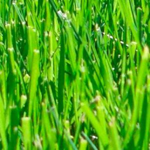 Многолетние травы для озеленения и устройства газонов